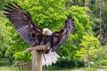 A Falcon-headed Bald Eagle Lan...