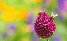 Two Honey Bees On Purple Alliu...