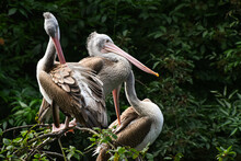 Group Of Pelicans Sitting Resting On Tree