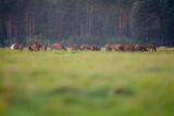 Fototapeta Zwierzęta - jeleń