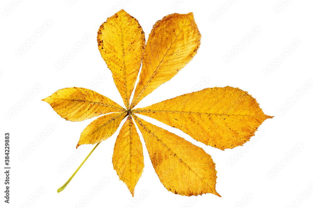 Fototapeta Closeup dried yellow leaves of buckeye or horse chestnut isolated at whitte background. Textured foliage herbarium pattern.