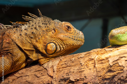 Canvas Print Close up portrait of an iguana
