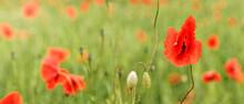 Bright Red Wild Poppy Flowers Growing In Green Field, Petals Wet From Rain