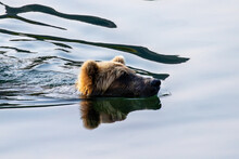 Close Up Of Brown Bear (grizzly Bear) Swimming Across Pond With Just His Head Above Water.  Picture Taken In Katmai National Park, Alaska. The Reflection Of The Bear Is Mirrored In The Water.