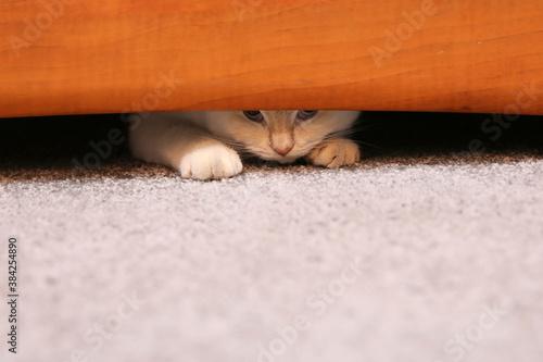 Obraz Młody kotek dobrze się czuje w domu i zaczepia domowników - fototapety do salonu