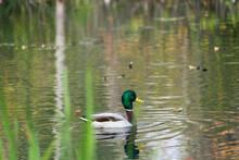 A Lone Mallard Duck On A Lake