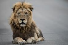 Beautiful Shot Of A Male Lion ...