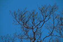 Jacaranda Tree In Early Spring Against A Clear Blue Sky At The Beginning Of The Blossom Period In Sydney Australia