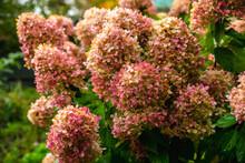 Faded Hydrangea Flower In The ...