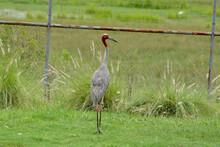 Grus Antigone On Grass Field.