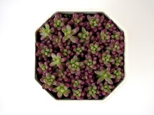 Closeup Purple Jelly Bean Succulent Plant ,Sedum Rubrotinctum In White Pot With Pink Blurred Background ,macro Image ,soft Focus For Card Design