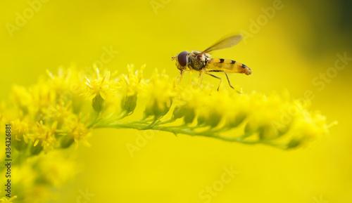 fly on a golden rod Canvas Print