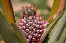 Growing Pineapple Fruit In Fie...
