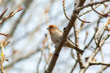A Red Headed Finch On A Branch