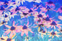 Blue Vintage Blossoming Rudbeckia Hirta (Black-eyed Susan) Flowers In The Garden In Summer. Nature Background. Gradient Color