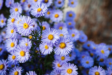 Blue Aster Flower Blooming In ...