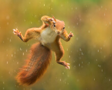 Jumping Red Squirrel In The Rain