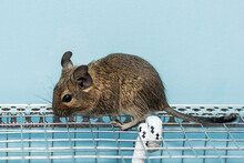 Little Cute Gray Mouse Degu Cl...