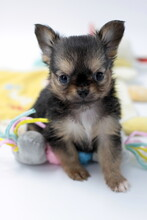 Chiot Chihuahua Poils Longs