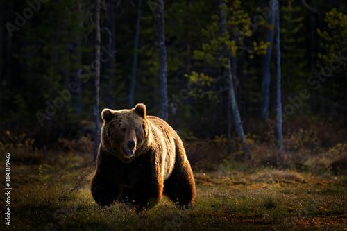 Fotografie, Obraz Bear hidden in yellow forest