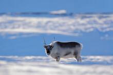 Wild Reindeer, Rangifer Tarand...
