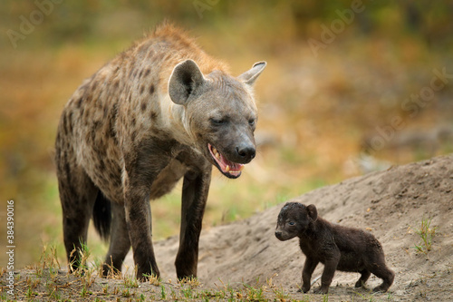 Young hyena pup, evening sunset light Canvas Print