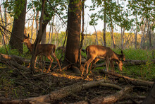 Deer Grazing In Forest In Shade.
