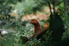 Range Chicken In Grass