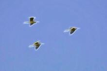 Three Bright Birds In A Blue Sky.