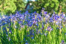 Beautiful Blooming Blue Siberian Iris On Sunny Summer Garden