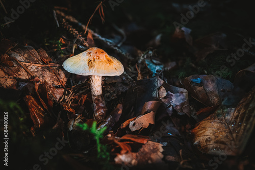 Lepiota Oreadiformis smooth umbrella fungus mushroom in colourful autumn forest Canvas Print