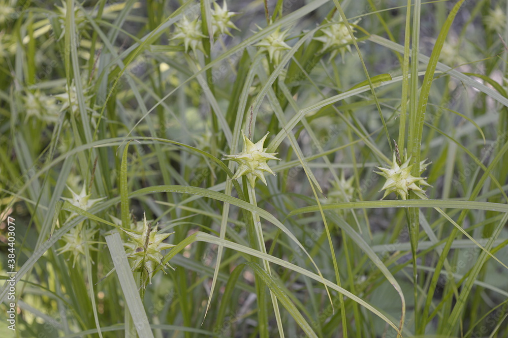 Fotografie, Obraz Closeup Carex grayi known as Gray's sedge with blurred background in garden