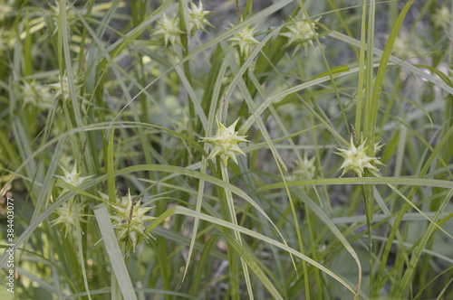 Closeup Carex grayi known as Gray's sedge with blurred background in garden Fototapeta