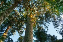 Huge Kauri Tree (Agathis Australis) At The North Island, New Zealand