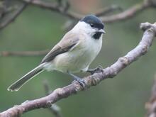 Marsh Tit (Poecile Palustris) ...