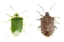 Green And Brown Marmorated Stink Bug Isolated On White Background, With Clipping Path (Halyomorpha Halys) And (Chinavia Halaris)