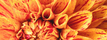 Orange Dahlia Flower Macro Vie...