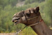 Closeup Of A Camel. Abu Dhabi,...