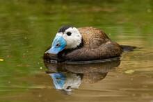 White-headed Duck - Oxyura Ana...