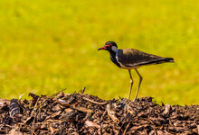 A Red Wattled Lapwing Standing...
