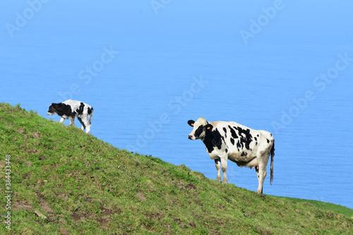 Fotografija Newborn Calf on Wobbly Legs on a Hillside