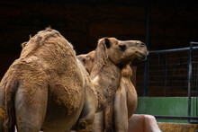 Camels Are Standing In The Zoo...