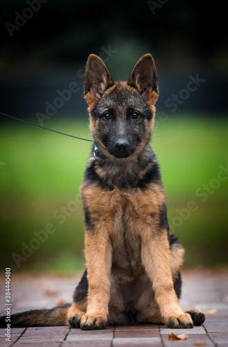 Fotografija puppy german shepherd teenager sitting in the park