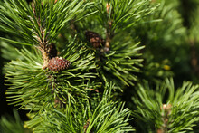 Spruce Branch With Cones Close...
