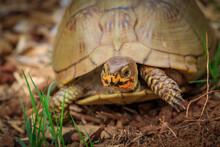 Close Up Of A Three-toed Box Turtle (Terrapene Carolina Triunguis)