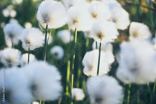 Swamp  cotton grass Eriophorum in the wind, flora of the Far North, tundra of th Fotobehang