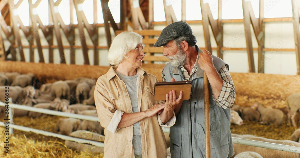 Fototapeta Caucasian old gray-haired woman holding tablet device and showing video to man while standing in livestock stable. Couple of senior farmers using gadget computer. Sheep flock in barn.