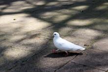 White Dove On The Park