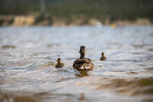 Mom And Ducklings Swimming Away