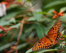 Deep Orange, White, And Black Wings On A Gulf Fritillary Butterfly Close Up